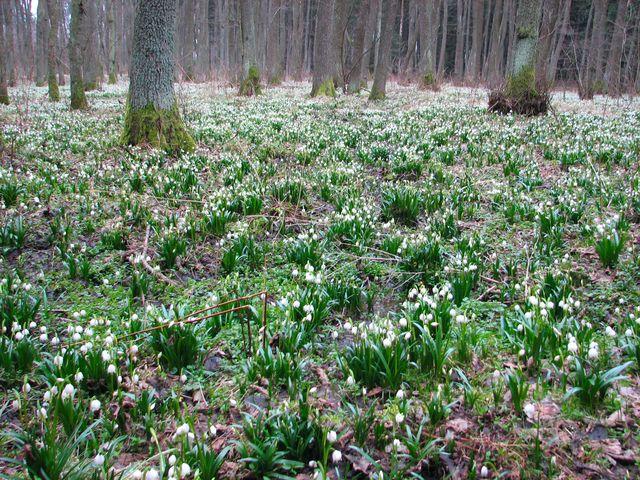 bledule jsou zatím v první fázi květu; foto F. Janeček