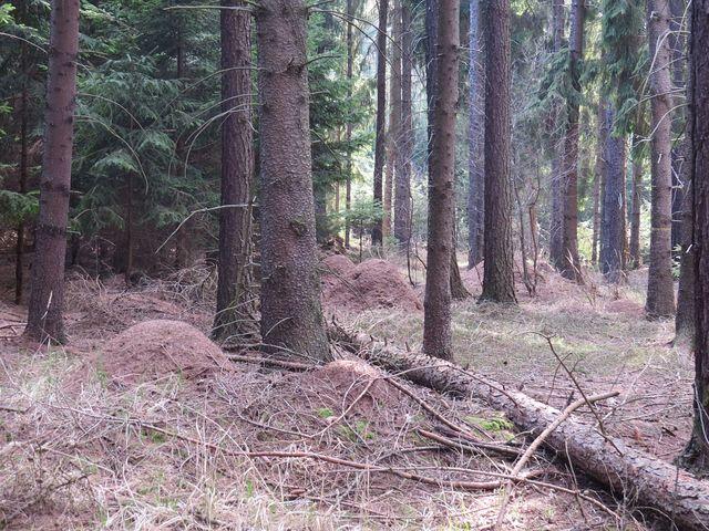 na území přírodní památky Šebeň je asi 1 200 mravenišť