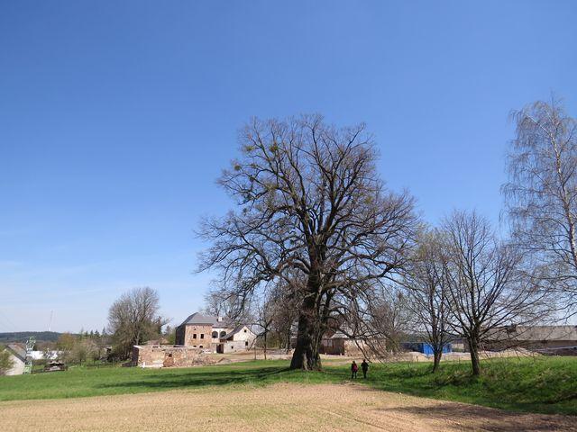 lípa je vysoká 32 metrů, stáří asi 700 let, tvrz postavena ve 13. století