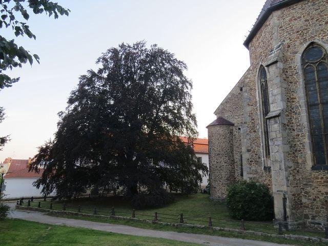 červenolistý buk u kostela je ozdobou této nejstarší části města