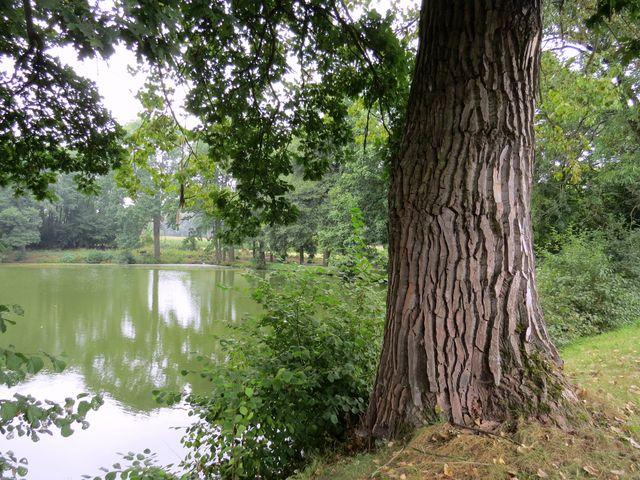 hráz rybníka Tvrzný se staletými stromy