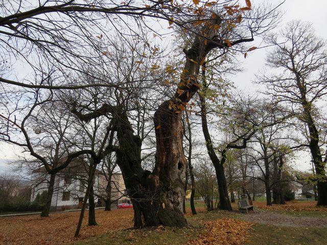 jedlý kaštan v parku v Nasavrkách - strom z původní výsadby na konci 18. století