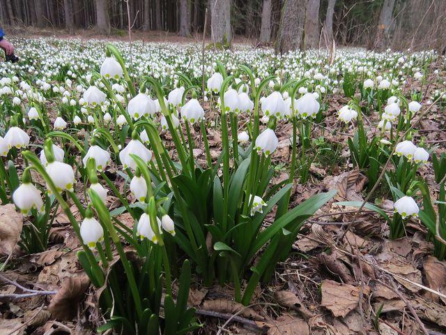čerstvost jarních rostlin kontrastuje se zbytky loňských travin a listí