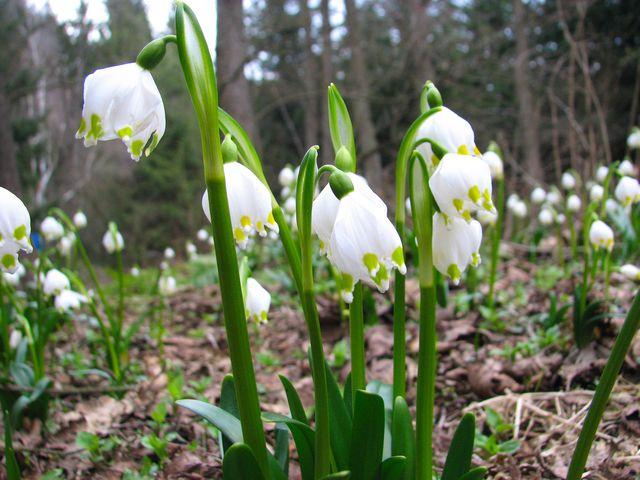bledule jarní rády rostou v mokřinách; foto F. Janeček
