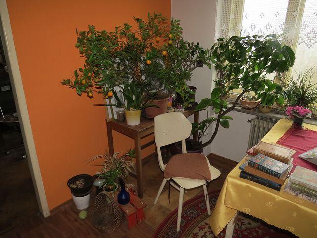 v bytě výtvarnice Lidmily Dohnalové dozrávají mandarinky a kvete citroník