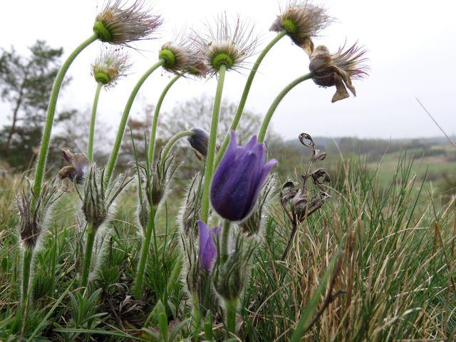 první fáze života konikleců končí, květy přecházejí do dalšího stadia