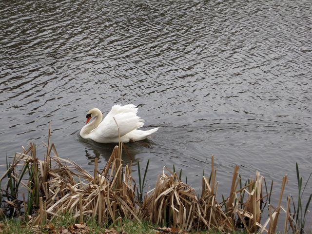 na rybníku vždycky žily labutě a jiní vodní ptáci