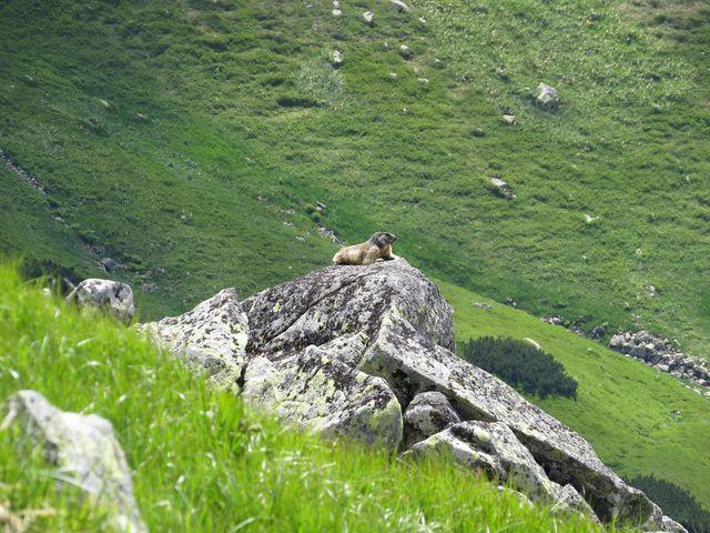 na vyhřátém kameni nerušeně odpočíval svišť